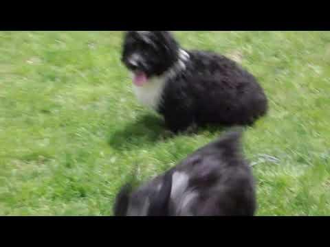 Mini Aussiedoodle Puppies For Sale John David Zook