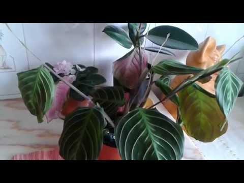 Цветок маранта... (уход, полив)
