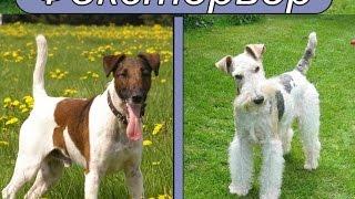 видео Гриффоны – собаки с большим сердцем