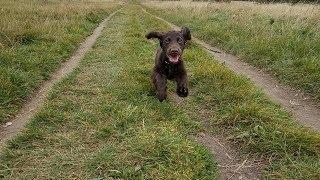 Hugo  4 Month Old Cocker Spaniel Puppy  2 Weeks Residential Dog Training