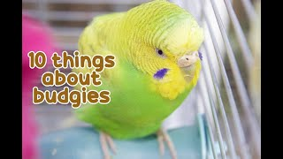 10 Interesting Facts about budgies