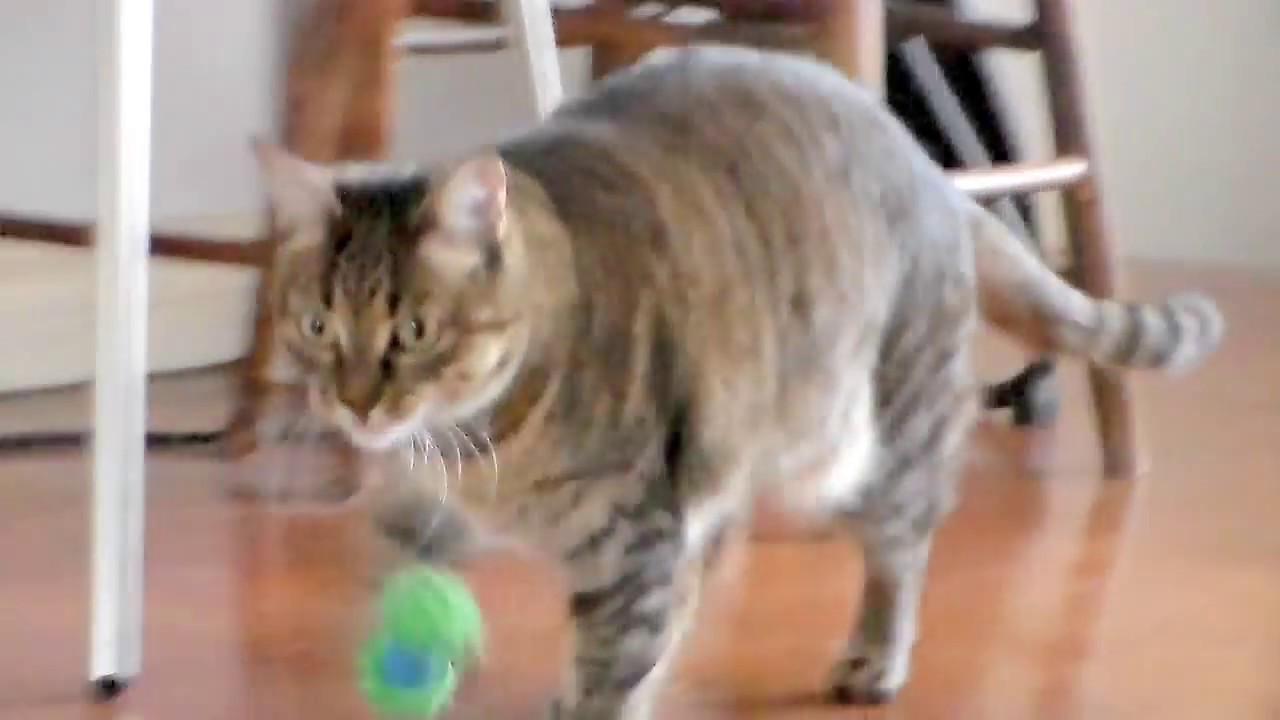 Cat Playing Fetch Youtube