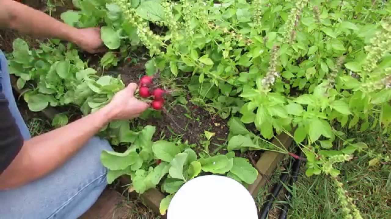 How to Harvest Radishes