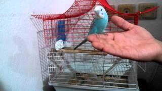 Muhabbet Kuşu nasıl eğitilir Nasıl konuşturulur