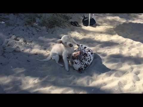 Dogs Playing at the Beach in SlowMo