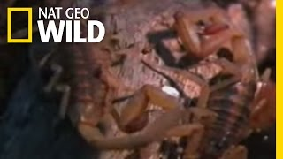 Innovative Scorpions | Nat Geo Wild