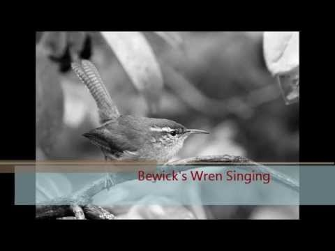 Bewick Wren Singing