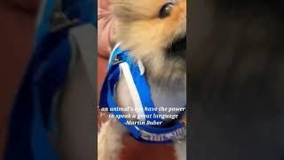 the Pomeranian dog breed #shorts