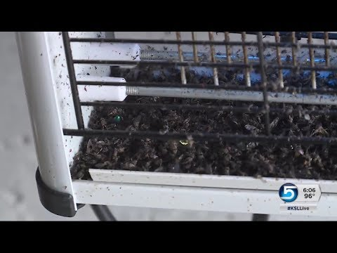 Neighborhood in Lehi experiences fly infestation