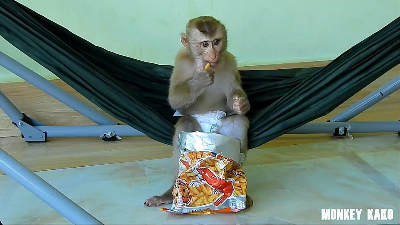 Monkey Kako Enjoy Fuchi Prawn On Hammock