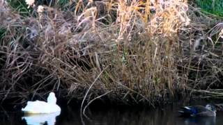 White Domestic Duck / Bach: Well-Tempered Clavier, Book 2 - Prelude #9 In E, BWV 878