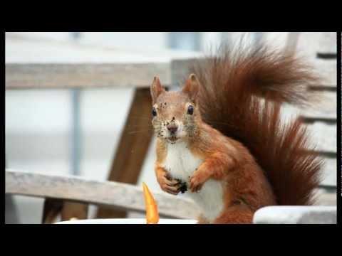 Niedliche Eichhörnchen auf Terrasse / Cute Red Squirrels on a terrace [HD]