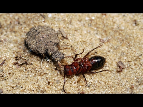 Ant Lion Information Video