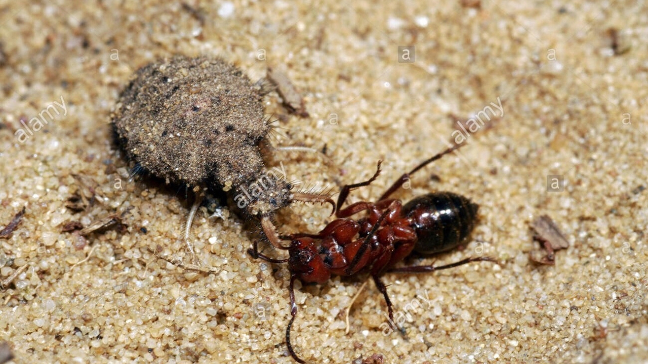 Ant Lion Feeding Video - YouTube