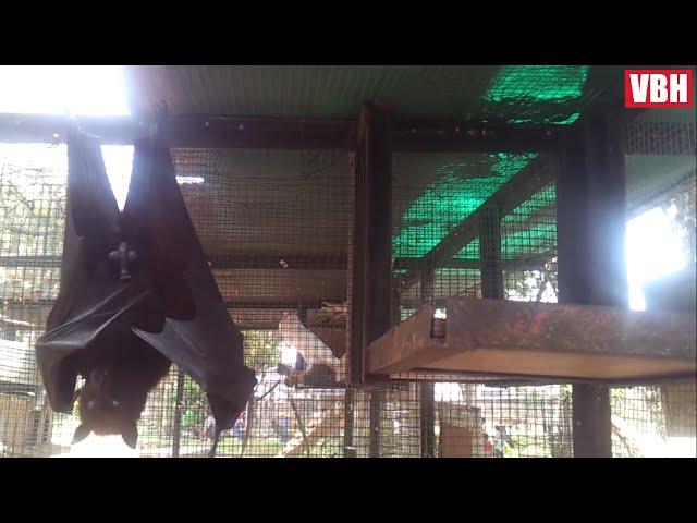 Kalong Si Kelelawar Besar Bergelantungan Berselimut Sayapnya – Video Binatang Hewan