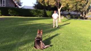 Sirius K9 Academy Basic Obedience Test Demonstration - Recall