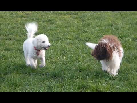 My Bichon Frise Dogs Best Friend at the Park!