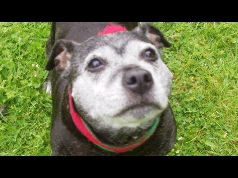 Staffordshire Bull Terrier Star Marlie mooching.