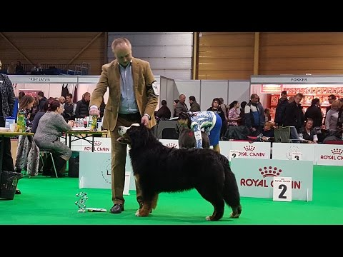 BERNESE MOUNTAIN DOG. Part 1 of 4. ZooExpo 2016 FCI CACIB Dog Show