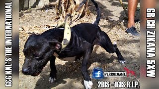 Relatos GameDog Historia de: G&G KNL'S THE INTERNATIONAL GR CH ZIKANA 5XW - 2BIS - 1GIS R.I.P.