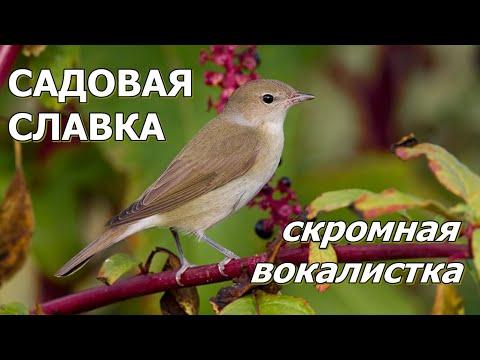 САДОВАЯ СЛАВКА Скромная вокалистка