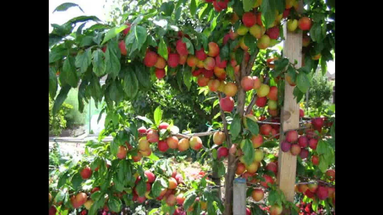 Small Space garden fruit trees - YouTube