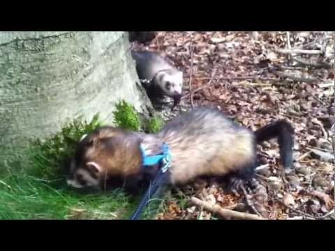 2 ferrets in the woods part 1