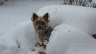 Yorkie Pup Hopping Through Snow