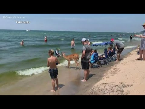 Jimmy The Deer Makes An Appearance At Saugatuck Beach