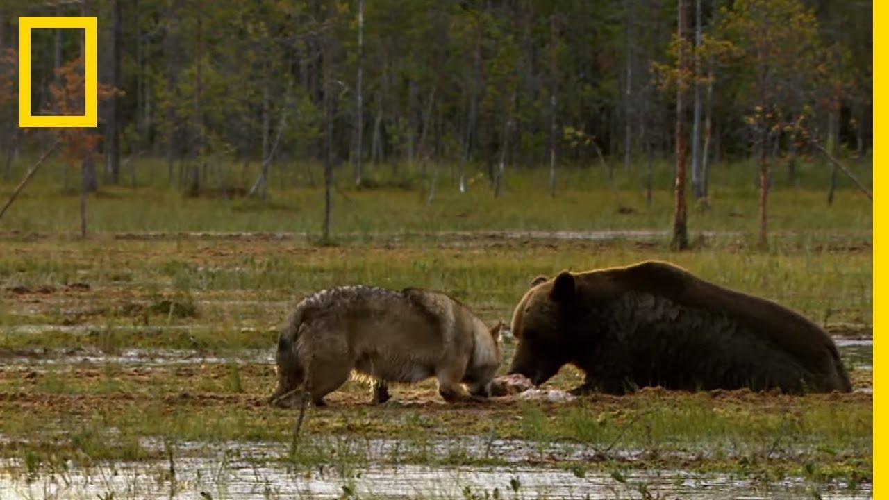 loup vs puma