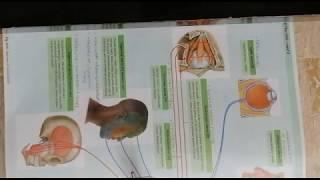 SUMMARY OF CRANIAL NERVES (PART I )