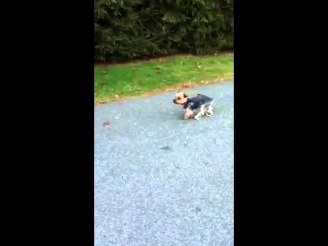 The Best Dog-Wearing-Boots Video Ever
