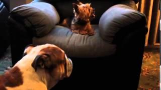 Yorkshire Terrier, Vs Bulldog, Chanel Bridget