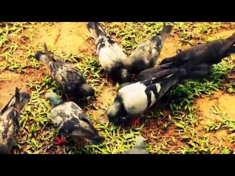Wild Asian Pigeons Eating Rice for Free