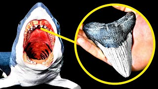 How to Find a Megalodon Tooth And How Much It's Worth