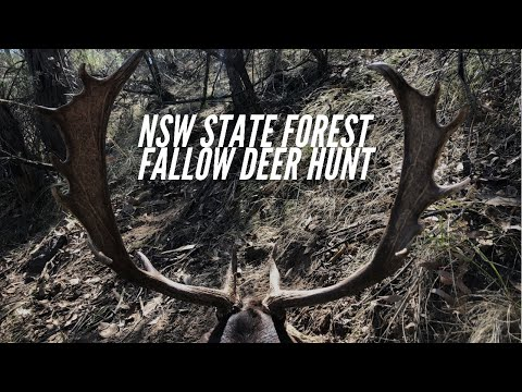 NSW State Forest Fallow Buck Hunt