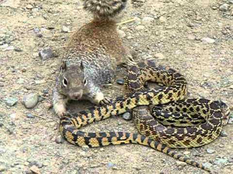 Bull Snake Against Squirrel