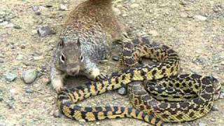 Repeat youtube video Bull Snake Against Squirrel