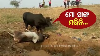 Special Story | Display Of Love By This Bull Will Leave You In Tears-OTV Report From Jagatsinghpur