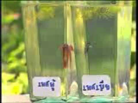 การเพาะพันธุ์ปลากัดจีน