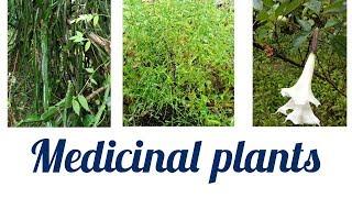 Three common medicinal plants    Latest upload 2018.