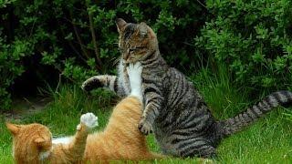 Лучшие кошачьи разборки