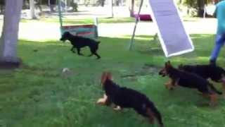 Florida Dog Academy - 4x Puppies And 1x Doberman Having Fun!!