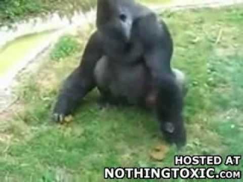 gorila come su propia mierda
