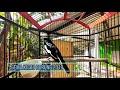 Suara Jernih Kacer Daput Bagus Buat Masteran  Mp3 - Mp4 Download