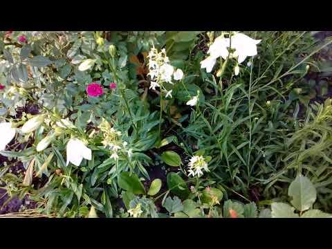 Дикая орхидея Любка двулистная в моем саду.  Июнь 2018    # мой сад # дикая орхидея