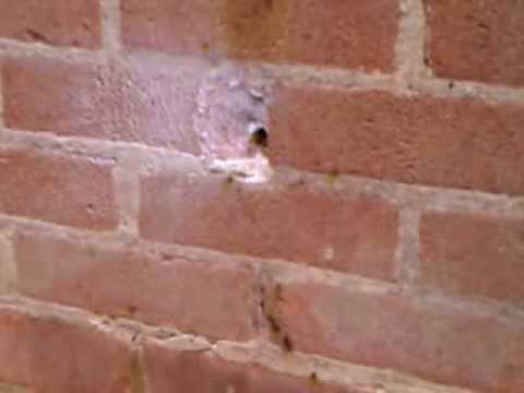 Wasps nest in cavity wall of a house. - YouTube