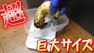 世界最大の幼虫を掘り返した結果に困惑…