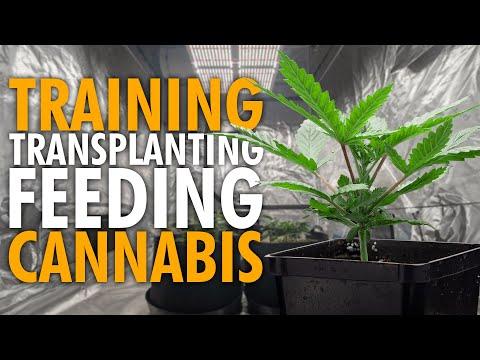 Growing Weed Indoors - Step by Step - Training Transplanting Feeding