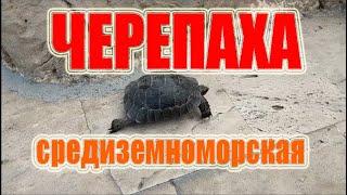 Средиземноморская черепаха или греческая черепаха кавказская черепаха лат Testudo Graeca